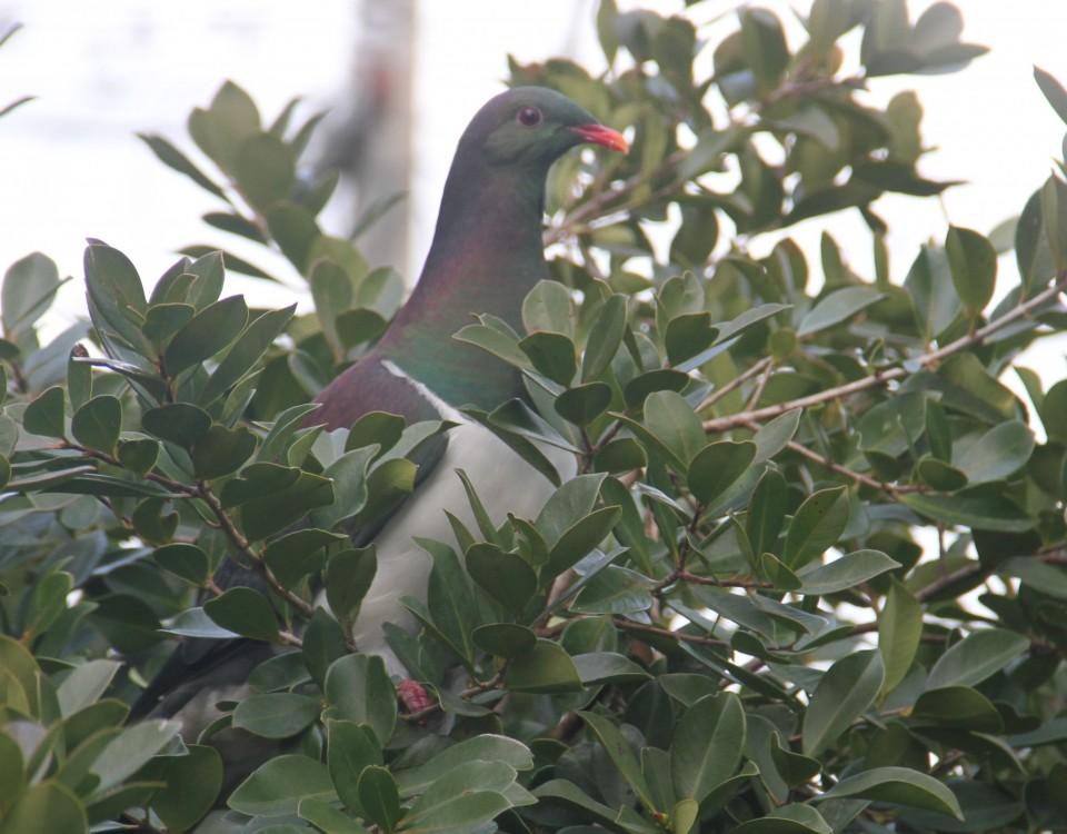 Kereru in Guava